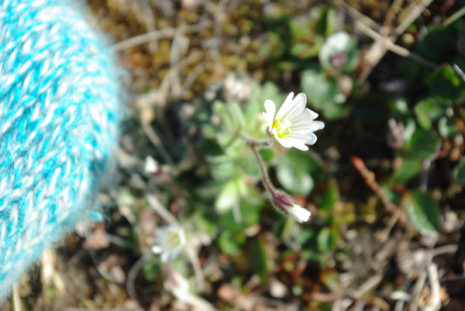 Cerastium arcticum flower on a sunnier day.